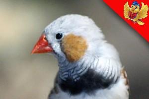 Alimentación de las aves diamante mandarin aviariojp