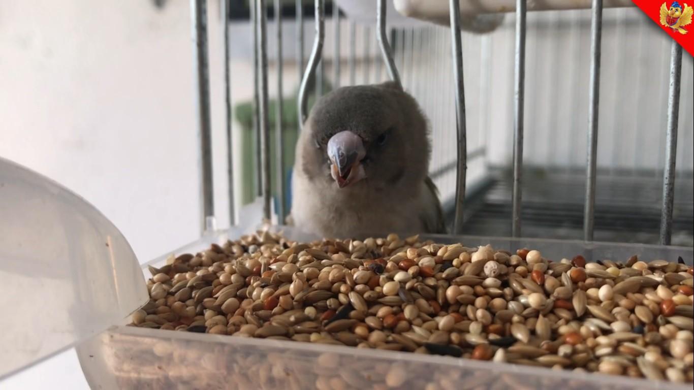 Alimentacion de las aves aviariojp