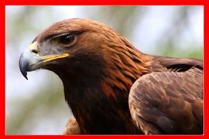 Aguila real aviariojp