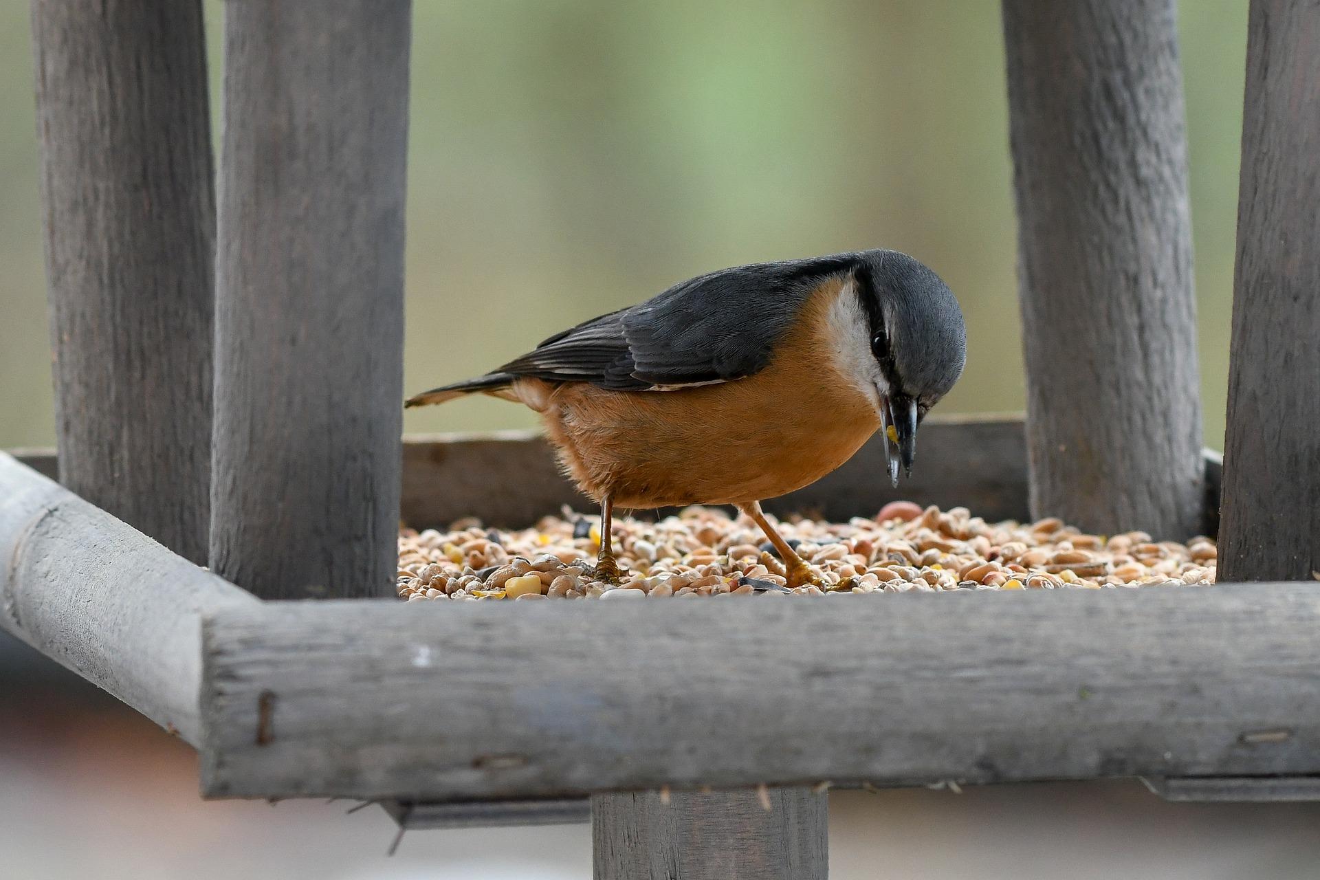 alimentacion de las aves en voladera