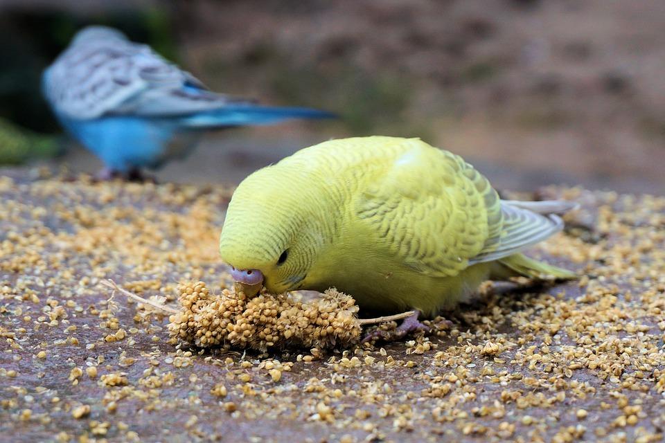 alimentacion de periquitos aviariojp