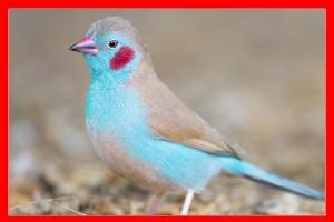 Azulito de senegal aviariojp