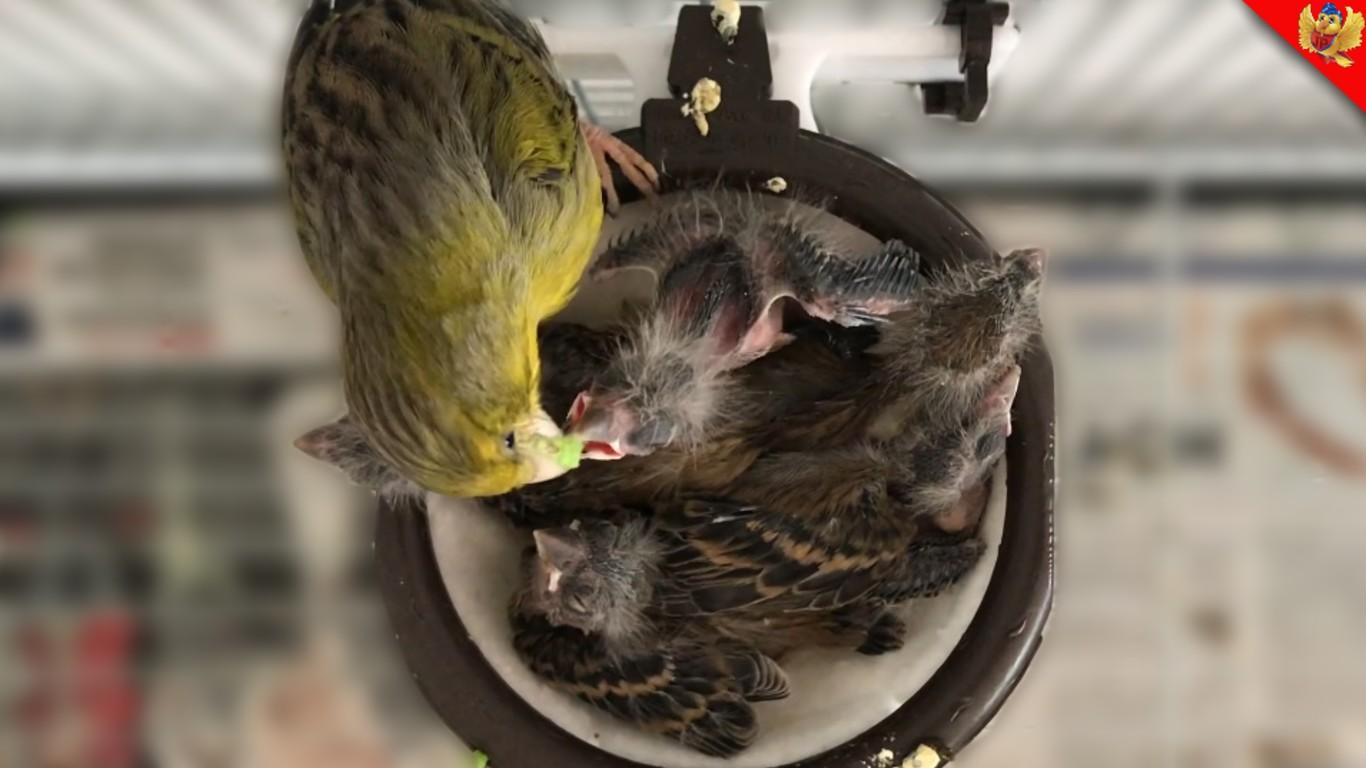 canaria alimentando pichones cria de canarios aviariojp