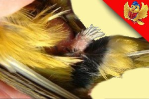 Canario macho aviariojp
