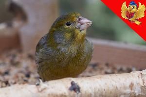 Canario verde ave paseriforme