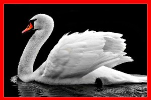Cisne blanco aviariojp