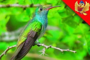 Colibri aviariojp