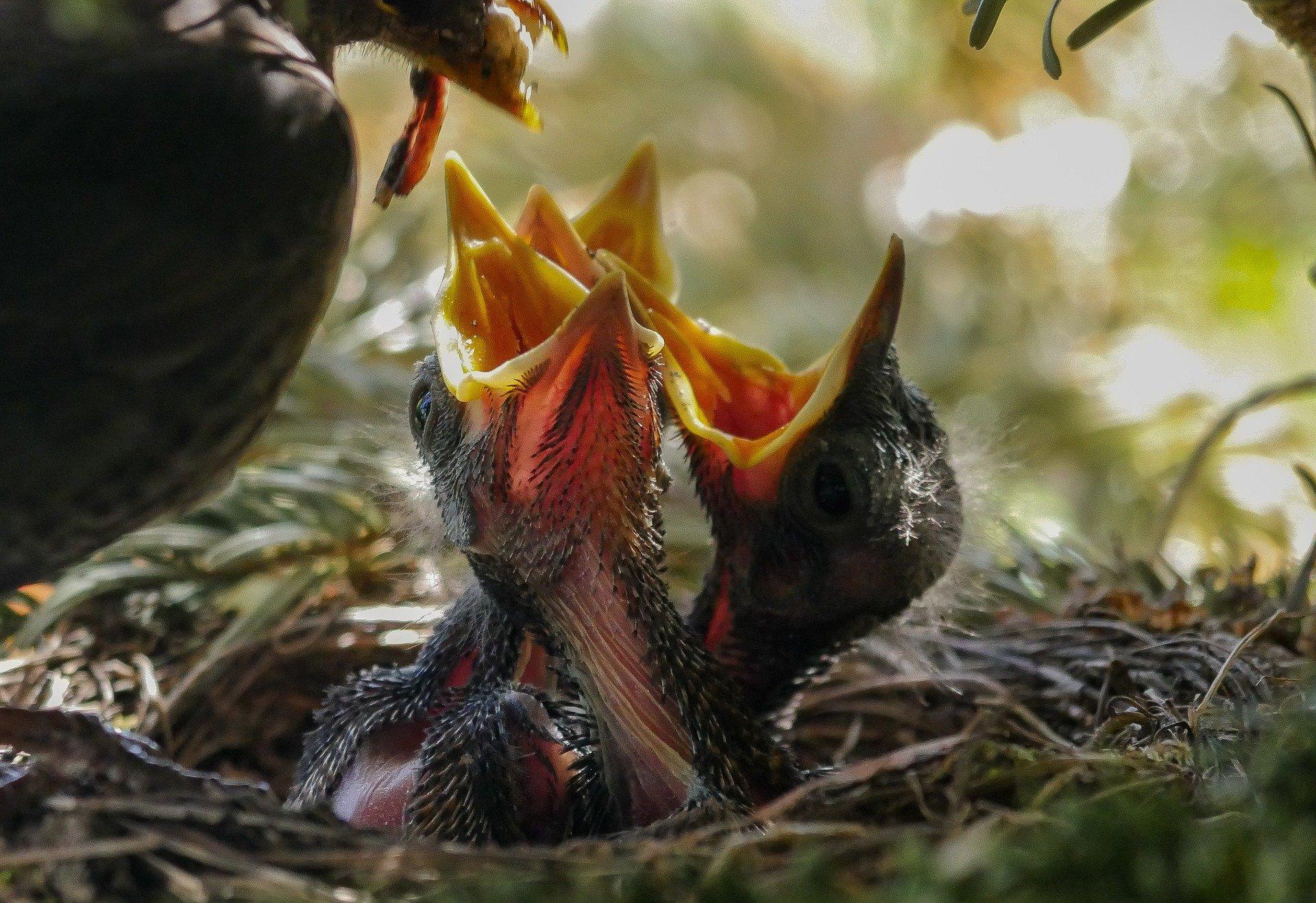 Cría de aves aviariojp