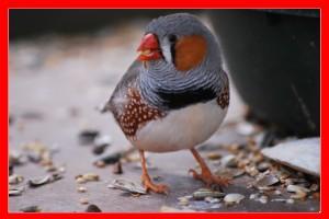 enfermedades de las aves aviariojp