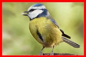 Herrerillo africano aviariojp