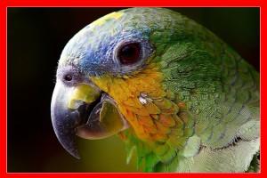 Loro amazonas aviariojp