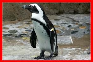 Pingüino africano aviariojp