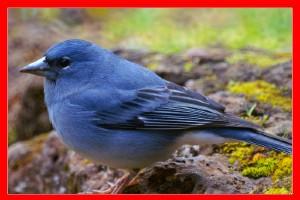 Pinzon azul aviariojp