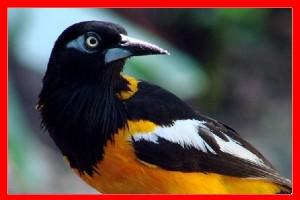 Turpial aviariojp