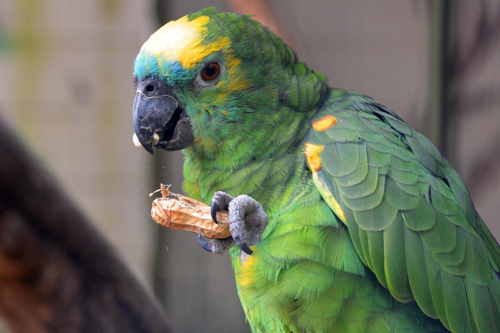 Alimentación de los loros y guacamayos aviariojp