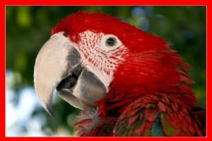 Guacamayo rojo aviariojp