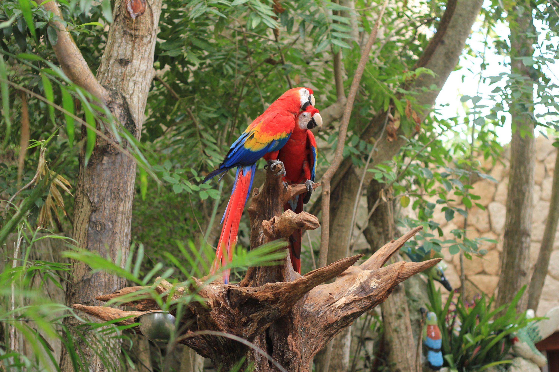 loro guacamayo rojo habitat