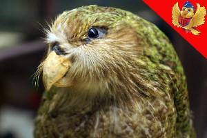loro kakapo strigopoidea