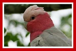 cacatua galah aves