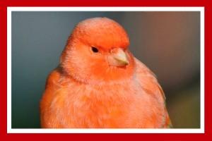canario rojo pajaro