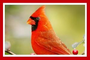 cardenal rojo pajaro