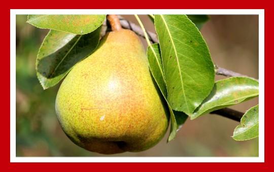 frutas para pajaros pera