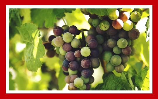 frutas para pajaros uvas