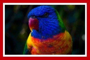 loris arcoiris aves exoticas