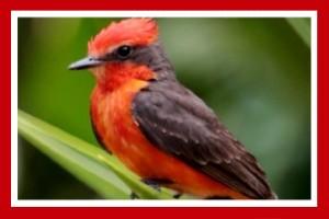 mosquero cardenal pajaro