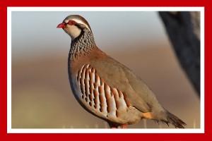 perdiz roja ave