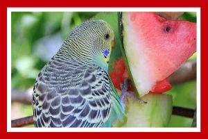 alimentacion de los periquitos